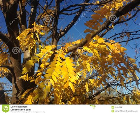 tree with yellow leaves in fall gleditsia triacanthos tree with yellow leaves in the fall stock photo image 61824304