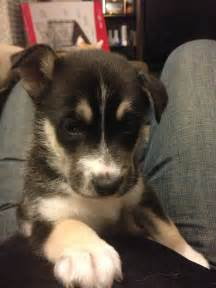 German Shepherd Husky Mix Puppy