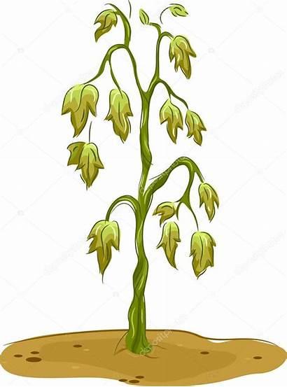 Planta Murcha Cultivo Indoor Plant Dead Mortas