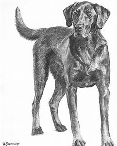 Hunting Dog Labrador In Full Body Pose Drawing by Kate Sumners