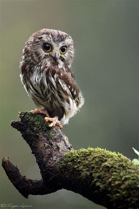 baby owls northern saw whet owl cutest paw animal pinterest