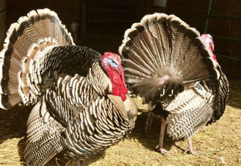 breed profile narragansett turkey backyard poultry