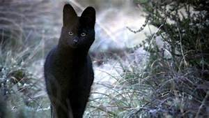 Stunning image of a Black Serval which is a medium sized ...