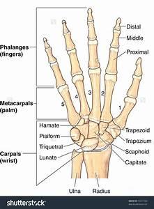 Diagram  Arm Bones Diagram Labeled