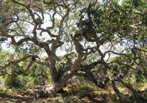 California Oak Tree Identification