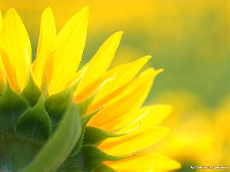 sunflower background hd  backgrounds
