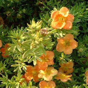 Potentilla fruticosa 'Tangerine' - Parastā klinšrozīte