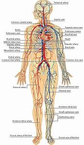 How Many Veins Are In The Human Body