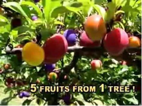 fruit salad trees fruit salad tree grow five fruits on one tree
