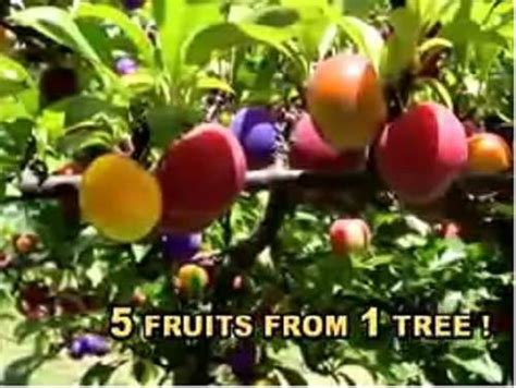 Fruit Salad Tree Grow Five Fruits On One Tree