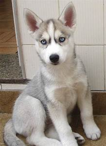 White husky, Husky and Grey and white on Pinterest
