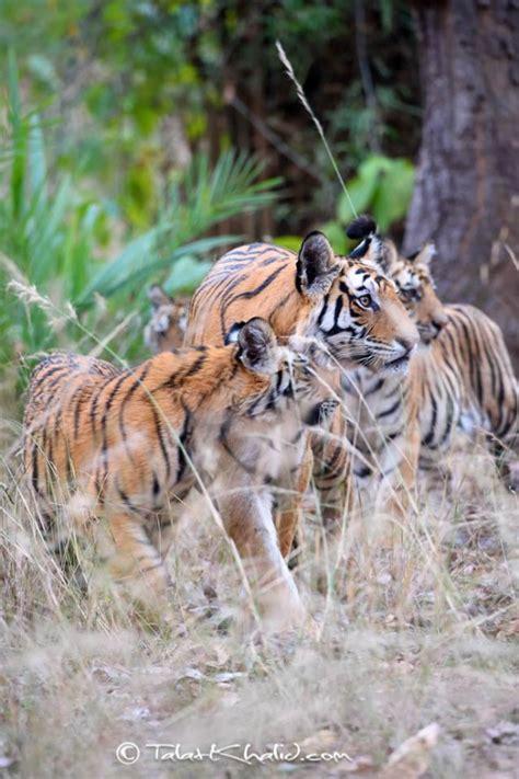 Tigress With Cubs Talat Khalid