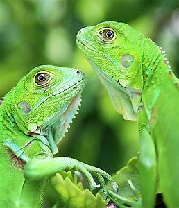 Baby Iguanas by Patti Sullivan Schmidt