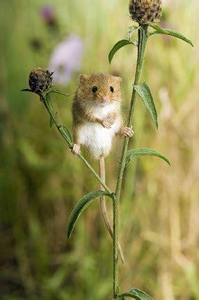 harvest mouse micromys minutus standing  knapweed