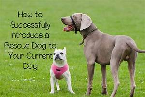 How to introduce a rescue dog to your current dog for How to introduce a new dog to your current dog