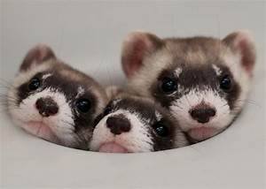 17 Adorable Pictures of Ferrets