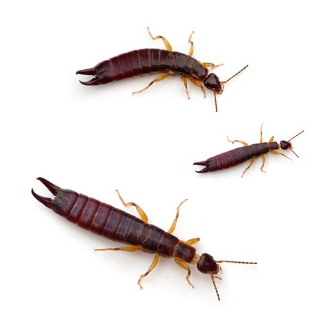 Images Of Earwigs Do You Earwigs Tunneling Through Your Ears And Into