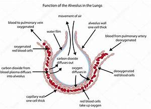Diagram Of Alveolus