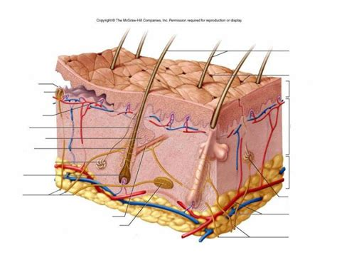 Skin Cell Diagram Label by Skin Labeling