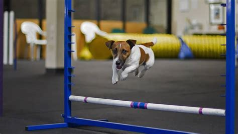 jack russell agility training youtube