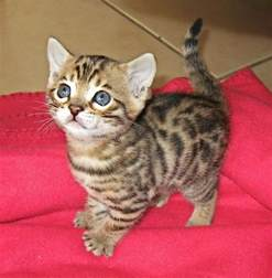 how much do forest cats cost 17 best ideas about bengal kittens on bengal