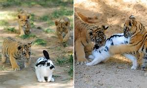 tiger  lion cubs attack rabbits   chinese zoo