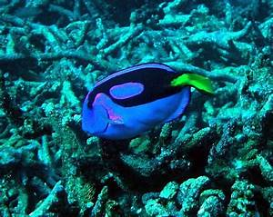 File:Coral reef fish pacific blue tan paracanthurus ...