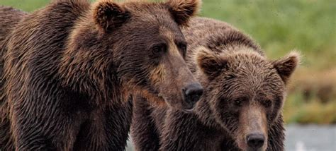 grizzly bear facts bearsmartcom