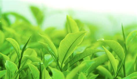 Top 10 Green Tea Health Benefits