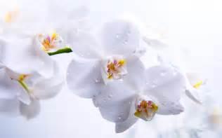 orchid arrangements white orchid wallpaper wallpaper