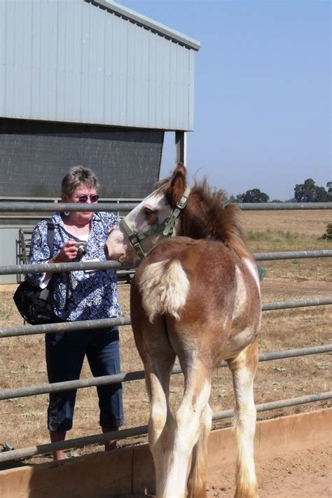 draft tails docked horses clydesdale they close clydesdales rigging tours colt marge visits month don