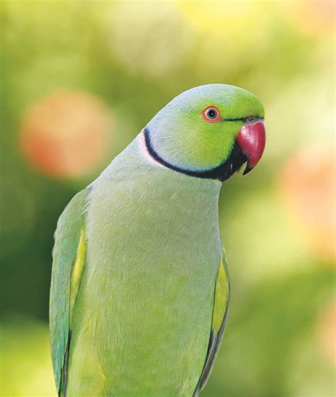 indian ringneck top 28 ringneck parakeet ringnecked parakeet 1000 images about fave birds on pinterest