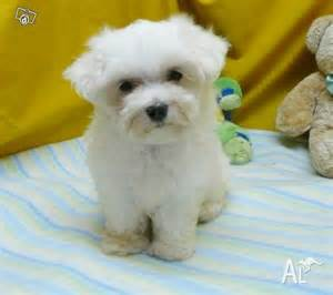 bichon frise maltese for sale in dawes point new south