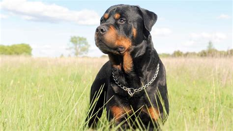 The Different Faces of Rottweiler Dogs