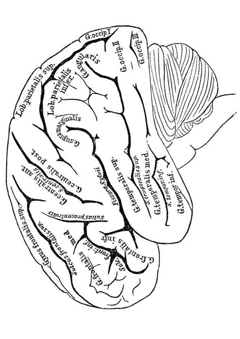 Hersenen Kleurplaat by Kleurplaat Hersenen Gezondheid Coloring