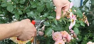 Rosen Düngen Im Frühjahr : rosenpflege im spaetsommer rosen pflegen rosen ratgeber informatives rosen online kaufen ~ Orissabook.com Haus und Dekorationen