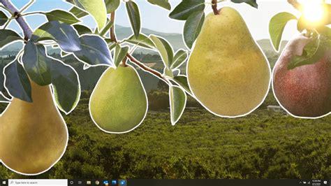 NORTHWEST PEAR HARVEST - Sage Fruit