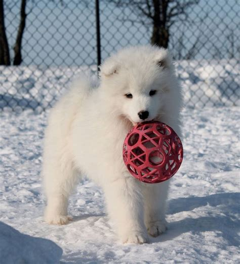 119 Best Images About Samoyed Dog On Pinterest Chow Chow