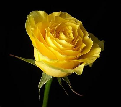 Yellow Flowers Flower Roses Rose Background Gorgeous