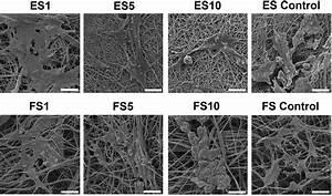 Sem Images Of Keratinocyte Morphology On Electrospun And