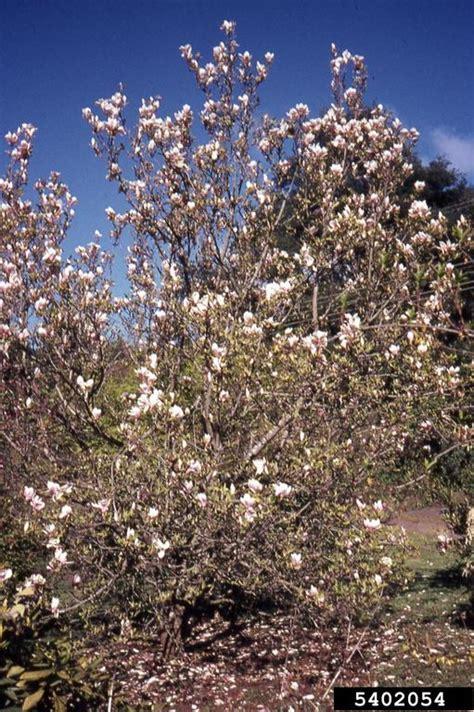 magnolia tree australia saucer magnolia magnolia x soulangiana magnoliales magnoliaceae 5402054