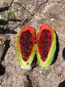 Saguaro Fruit Harvest | Sirena's Wanderings
