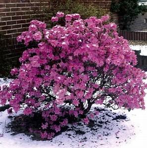 Magnolie Im Topf : vorfr hlingsalpenrose violett blau bl hend 1 strauch im 3 ~ Lizthompson.info Haus und Dekorationen