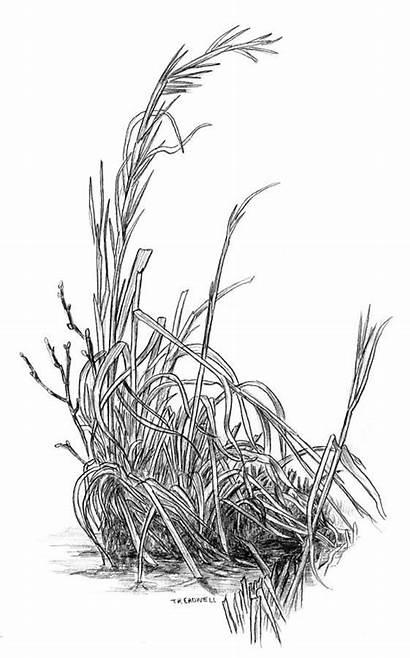 Grass Winter Realistic Drawing Draw Treadwell Pencil