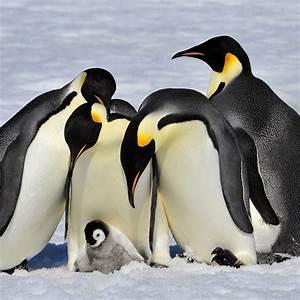 Emperor Penguin (Aptenodytes forsteri) | about animals