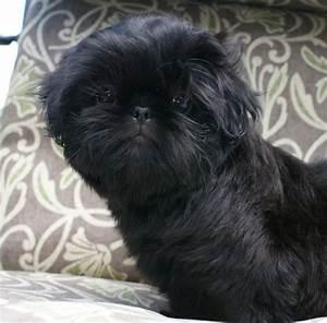 black shihtzu | Shihtzus and Maltese Doggies | Pinterest ...