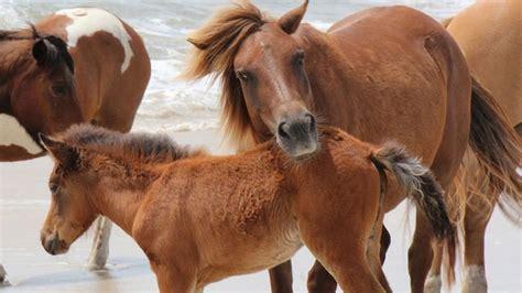 horse eating dog food wild assateague island dies died file