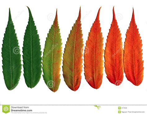 chagne colored tree walnut leaves changing colors stock photos image 277533
