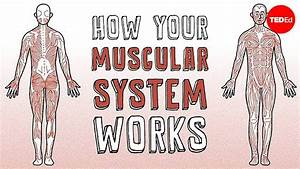 How Does The Human Muscular System Function