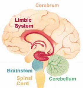 2  Brain Structures  Cerebrum  Cerebellum  Limbic System  And Brain